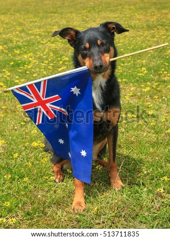 Cute tricolour Kelpie (Australian breed of sheepdog) holding the Australian flag in its mouth on a background of green grass with yellow flowers.