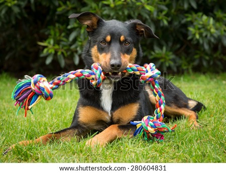 Cute tricolour Kelpie dog (an Australian breed of sheep dog) lying on grass holding a colourful rope toy in its mouth. - stock photo