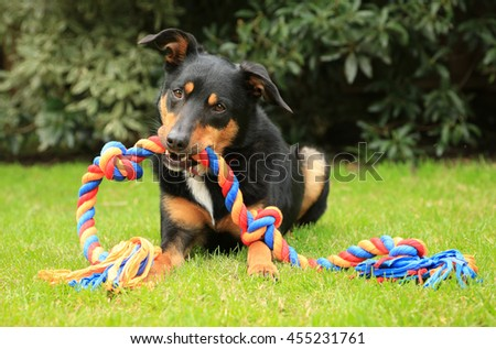 Cute tricolour Kelpie dog (an Australian breed of sheep dog) lying on grass holding a colourful rope toy in its mouth.
