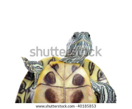 Cute turtle over white background - stock photo