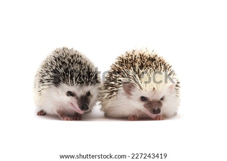 cute two hedgehog love background - stock photo