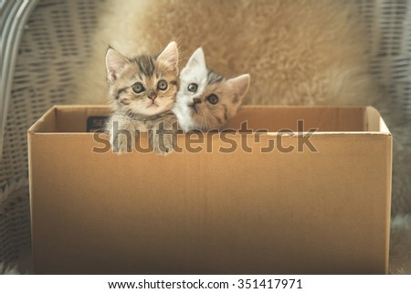 Cute two tabby kittens looking in a box,vintage filter - stock photo