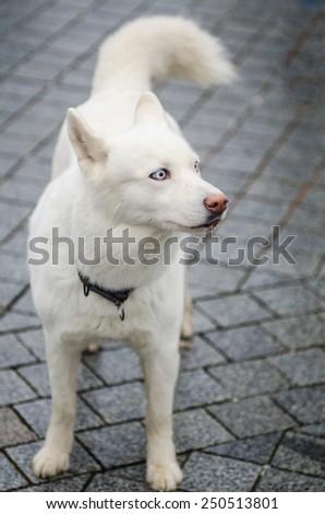 Cute unusual white colored husky breed dog posing - stock photo