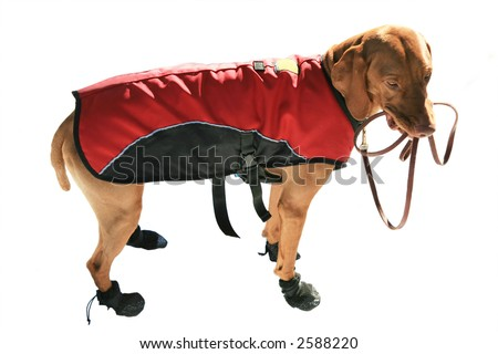 Cute Vizsla dog wearing boots and coat and hold leash in mouth - stock photo