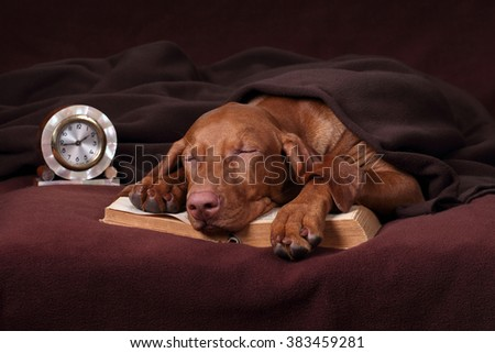 Cute Vizsla dog with a book and a clock sleeping under a blanket - stock photo