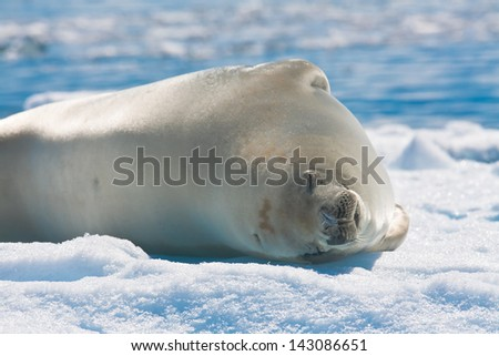 Cute Weddell seal on iceberg, Antarctica