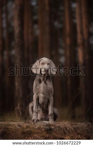 Cute Weimaraner at theBeautiful bokeh background with forest