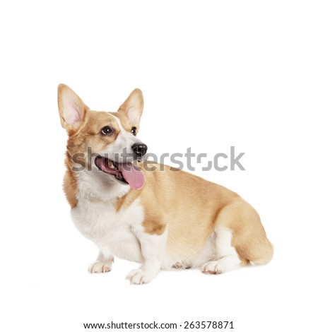Cute Welsh Corgi and in front of white Background