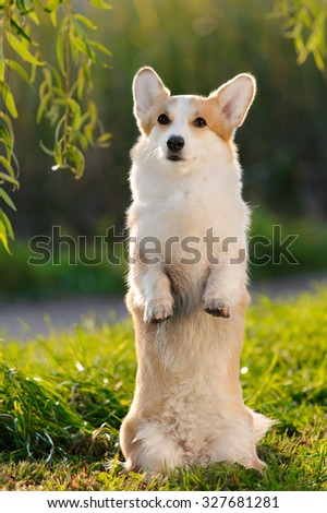 cute welsh corgi dog trick - stock photo