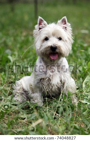Cute West Highland White Terrier sitting on the grass - stock photo