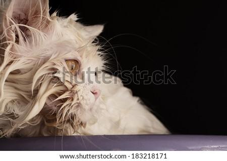 Cute wet cat  - stock photo