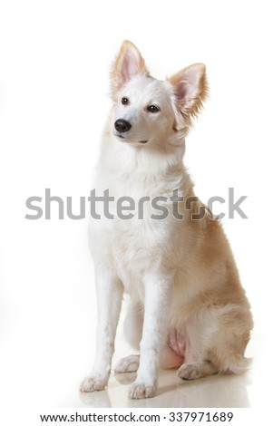 Cute white and blonde red fluffy mutt puppy dog sitting on isolated white background