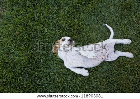 Cute white and tan Basset Hound lying upside down in the grass with spotted tummy showing - stock photo