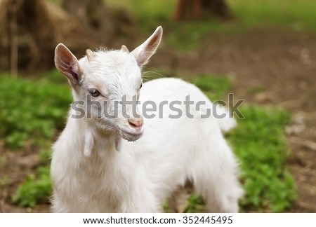 Cute white baby goat cub on lawn - stock photo