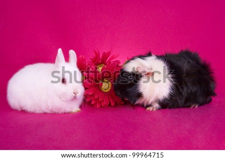 Cute white baby Netherland Dwarf bunny rabbit and black and white Abbysinian Guinea pig with pink flowers on hot pink background - stock photo