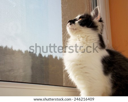 Cute white black kitten looking outside behind window - stock photo