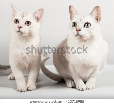 cute white breed short hair cat and kitten front sitting - stock photo