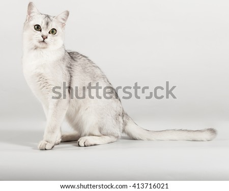 cute white breed short hair cat side sitting