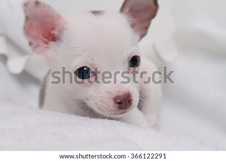 Cute white chihuahua puppy