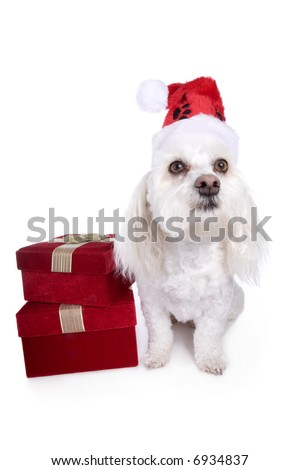 Cute white Christmas Havanese dog with red gift boxes and hat isolated on white background