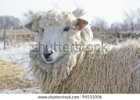 cute white cotswold wether sheep