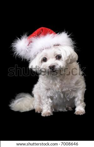Cute White Dog in Santa hat - stock photo