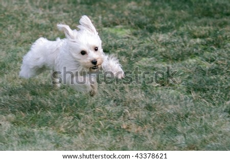 Cute white dog leaping toward camera at full speed - stock photo