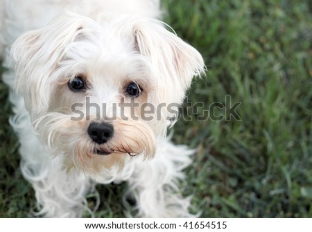 Cute white dog looking expectantly into camera - stock photo