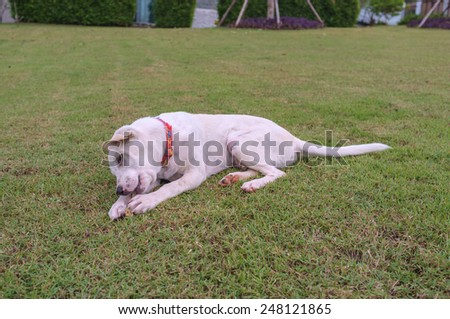 cute white dog playing with bone in the garden - stock photo