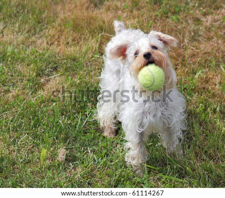 Cute white dog plays fetch with yellow tennis ball - stock photo
