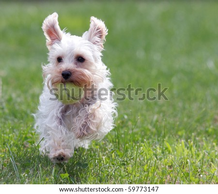 Cute white dog running across green grass with yellow tennis ball in mouth and ears flapping in air - stock photo