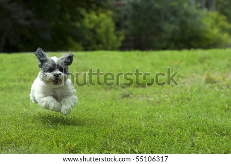 Cute white dog running outside through the yard, looks like she's flying - stock photo