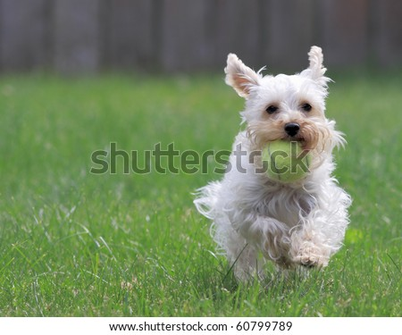 Cute white dog runs toward camera with ball in her mouth - stock photo
