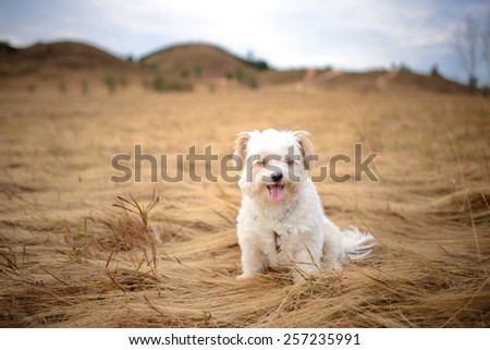 cute white dog sitting in brown grass - stock photo