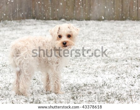 Cute white dog standing on a snowy lawn with snowflakes on her face