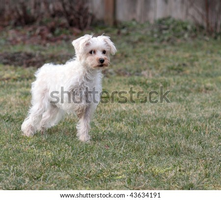 Cute white dog striking pointer pose - stock photo