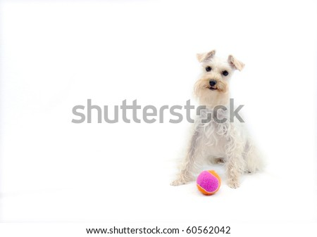 Cute white dog wants someone to throw her toy - stock photo