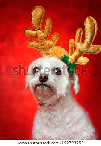 Cute white dog wearing reindeer antlers decoration for Christmas.  Red background.