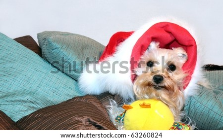 Cute white dog wearing santa hat with toy under her chin