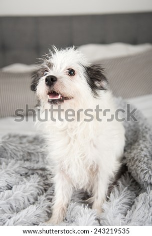 Cute White Dog with Black Spots Sitting on Fluffy Gray Blanket - stock photo