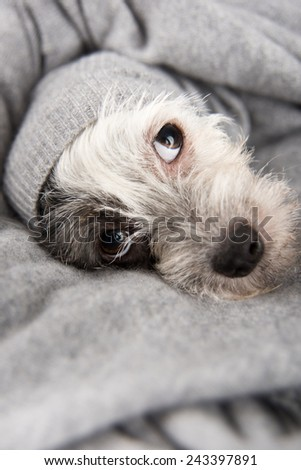Cute White Dog with Black Spots Wrapped in Gray Wool Sweater - stock photo