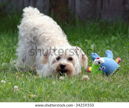 Cute white dog with butt in air - stock photo