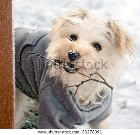 Cute white dog with gray sweater holding twig in snow - stock photo