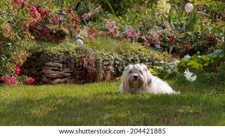 Cute White dog with long hair, running and playing in a meadow. Adult Coton de Tulear Breed - stock photo
