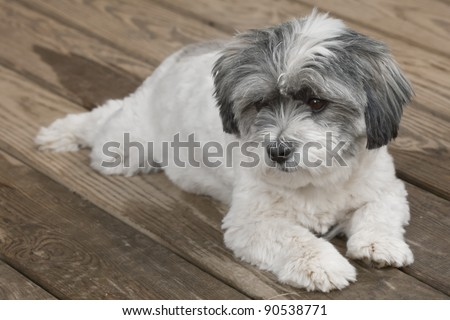 Cute white fluffy dog resting on a porch - stock photo