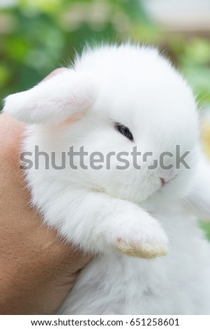 cute white Holland Lop Rabbit with blue eyes