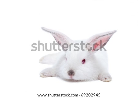 Cute white isolated baby rabbit. - stock photo