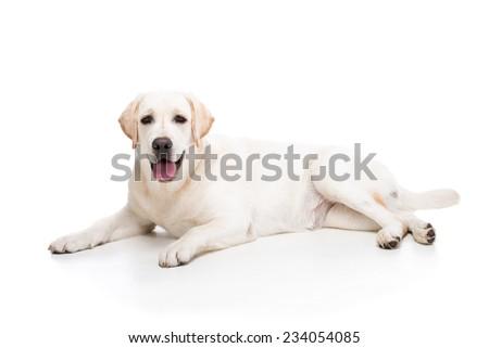 Cute white labrador retriever dog isolated on white background. - stock photo