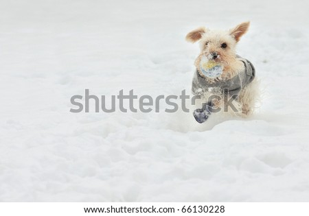 Cute white miniature schnauzer breed of dog plays fetch on a snowy day wearing a gray sweater and blue boots - stock photo
