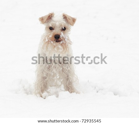 Cute white miniature schnauzer breed of dog with snow covered beard on a winter day - stock photo